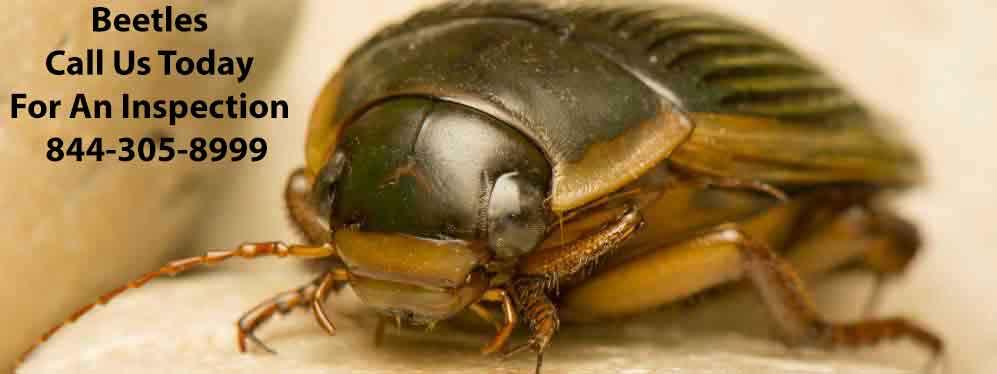 Beetle Pest Control