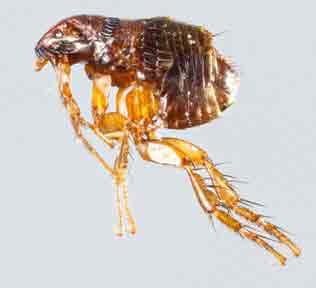 Flea Exterminator
