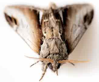 Fabric Pests Moths