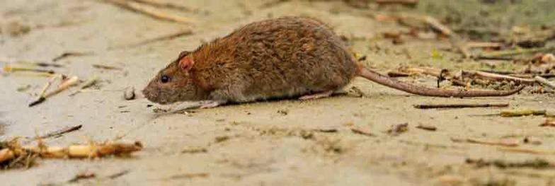 Congers Rat Exterminator