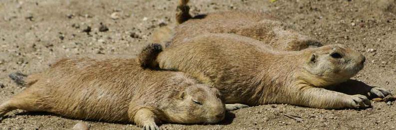 Haverstraw Groundhog Removal