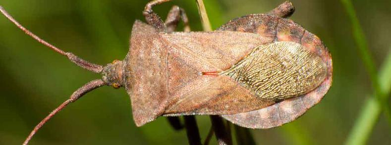Haverstraw Stink Bug Exterminator