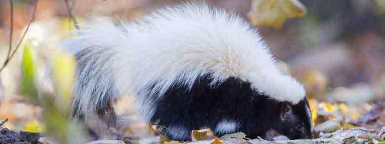 Montebello Skunk Removal