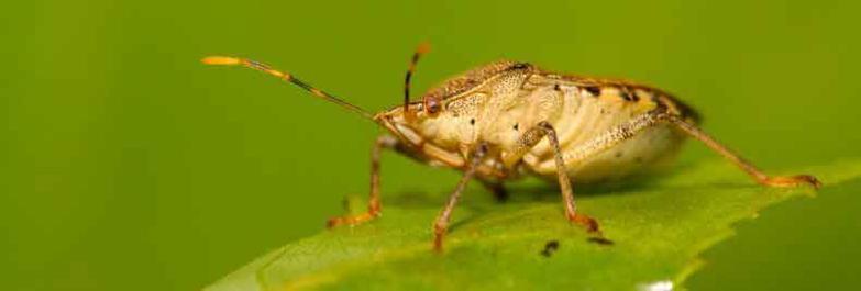 Pomona Stink Bugs Exterminator