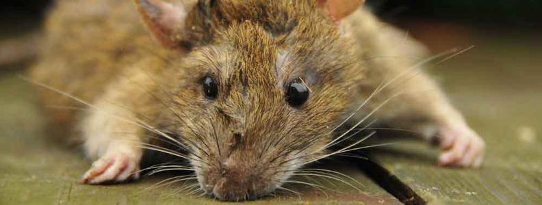 Stony Point Rodent Control