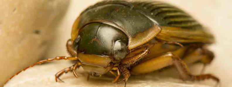 Tappan Carpet Beetle Exterminator