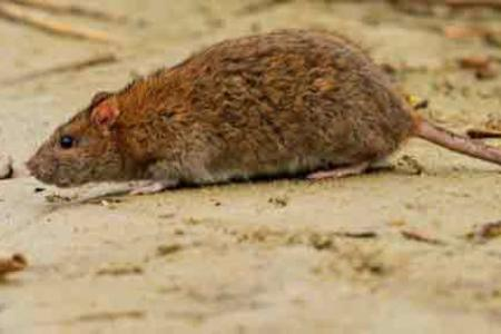 Yonkers Rodent Control
