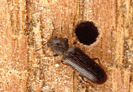 Carpet Beetle Extermination