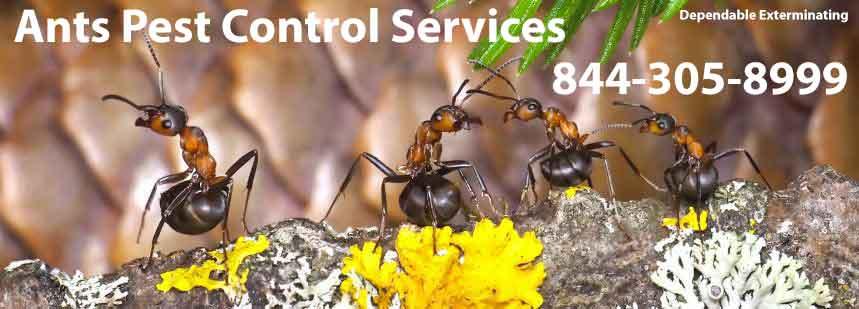 Ant Season