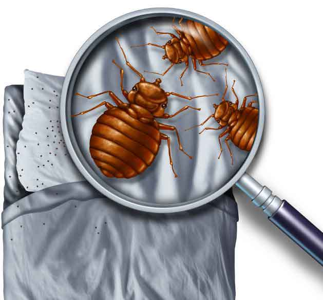 Bed Bug Inspection