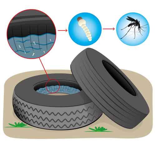 Mosquito Larvae Inside Of Tire