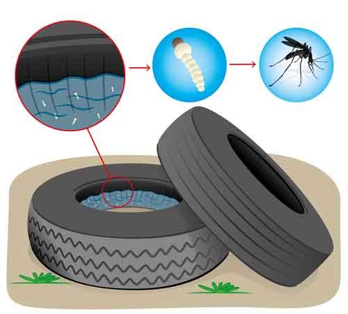 Mosquito Larvae Inside Of Tire