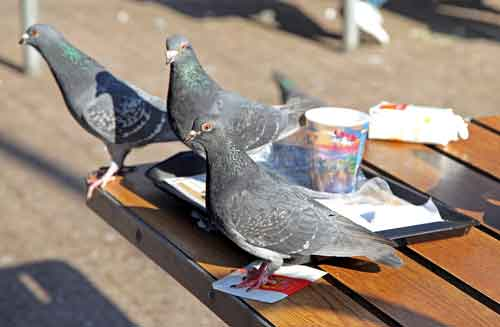 Nuisance Pigeons