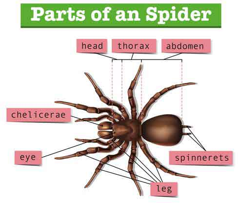 Spider Anatomy