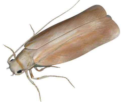 Webbing Clothing Moth