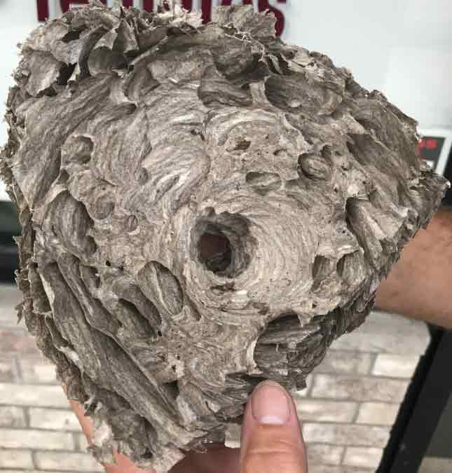 Inside View Of Hornet Nest